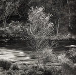 Silver Birch by Anonymous - print