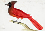 Red Cardinal by John James Audubon - print
