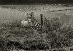 Sheep Fine Art Print by Fay Godwin