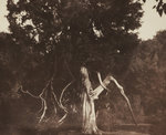 An aged red cedar in the grounds of Mount Edgcumbe by unknown - print