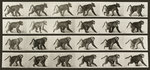 Baboon Walking on all fours by Josef Maria Eder and Eduard Valentia - print