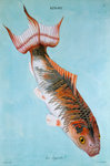 Kin-Yu: Le Superbe fish print by Edme Billardon-Sauvigne - print