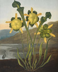 Pitcher Plant - The Temple of Flora by Robert John Thornton - print