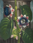 Quadrangular Passion-flower - The Temple of Flora by Robert John Thornton - print