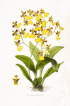 Orchid by Miss Sowerby - print