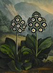 Auricula by Robert John Thornton - print