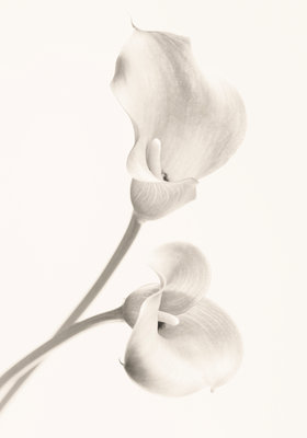 Close Up Black And White Toned Image Of Arum Lily Flowers White, Pure, Purity, Wedding, Sympathy, Hope, Fragile, Peace, Peaceful, Wall Art & Canvas Prints by Clive Nichols