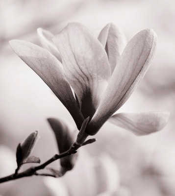 Black And White Duotone Image Of Magnolia 'galaxy'. Spring, Bloom, Tree, Deciduous Wall Art & Canvas Prints by Clive Nichols