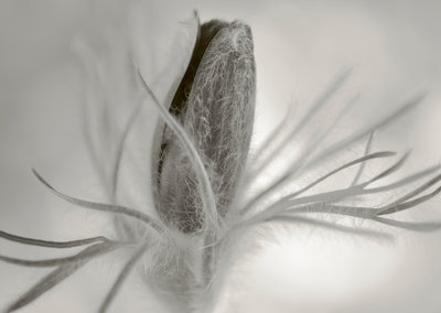 Black And White Duotone Image Of Pulsatilla Vulgaris Heiler Hybrids Wall Art & Canvas Prints by Clive Nichols