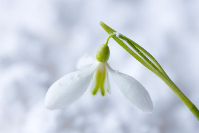 Cotswold Farm, Gloucestershire: Close Up Of Snowdrop - Galanthus 'peg Sharples' - In Snow Wall Art & Canvas Prints by Clive Nichols