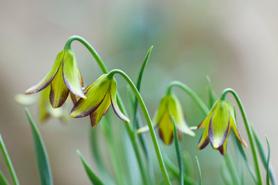 Laurence Hill Collection Of Fritillaria: Fritillaria Carica Wall Art & Canvas Prints by Clive Nichols