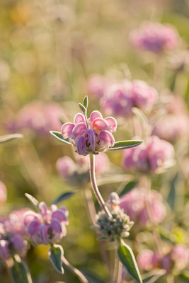 Garden Of Olivier Filippi, Meze, France: Close Up Of Phlomis Purpurea Subsp Almeriensis Wall Art & Canvas Prints by Clive Nichols