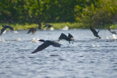 Cormorans flying over river, Mato Grosso, Brazil Wall Art & Canvas Prints by Corbis