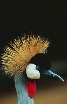 Crowned Crane Profile Postcards, Greetings Cards, Art Prints, Canvas, Framed Pictures, T-shirts & Wall Art by Corbis