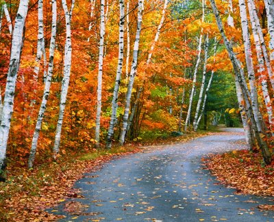 Autumn Trees Lining Country Road Wall Art & Canvas Prints by Cindy Kassab