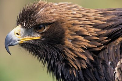 Golden Eagle Head in Profile Wall Art & Canvas Prints by Corbis