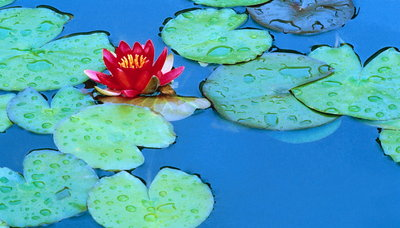 Lily Pads and Flower Blossom Wall Art & Canvas Prints by Cindy Kassab