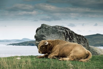 Highlander Bull Postcards, Greetings Cards, Art Prints, Canvas, Framed Pictures, T-shirts & Wall Art by Corbis