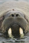 Walrus Looking Straight Ahead Wall Art & Canvas Prints by Odile Kidd