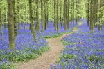 Path Winding Through Beech Forest and Bluebells Postcards, Greetings Cards, Art Prints, Canvas, Framed Pictures, T-shirts & Wall Art by Anonymous
