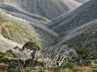 Snowgums after the Fire botanical print by Gary Steer