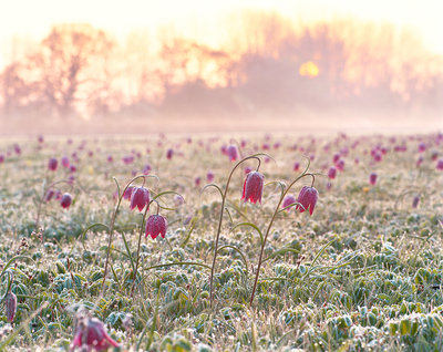 Fritillaries at Dawn Fine Art Print by Damian Debski