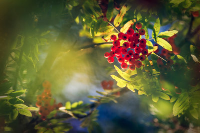 Rowan with Red Berries. botanical print by Taru Rantala
