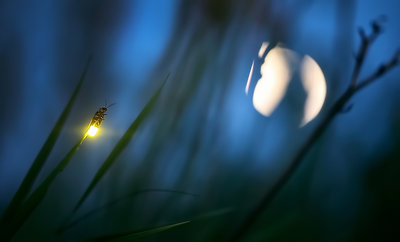 Firefly and Moon botanical print by Radim Schreiber