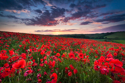 Poppy field Sunset botanical print by Drew Buckley