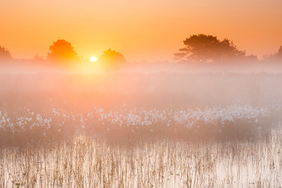 Cotton Moods: Common cottongrass at misty sunrise botanical print by Andrew George