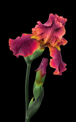 Portraits of Iris: Iris 'Raptor Red' botanical print by Don Rice