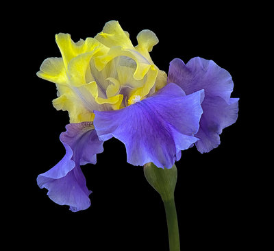 Portraits of Iris: Iris 'Edith Wolford' botanical print by Don Rice