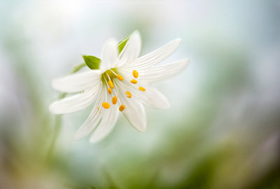 Stitchwort Fine Art Print by Mandy Disher