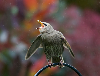 Singing in the Rain Fine Art Print by Hazel Byatt