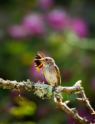 Spotted Flycatcher Wall Art & Canvas Prints by Chris Robbins
