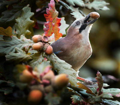 Jay taking Acorns Fine Art Print by Alan Price