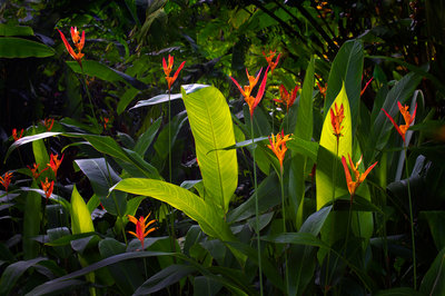 Hawaii Heliconia Fine Art Print by Dennis Frates
