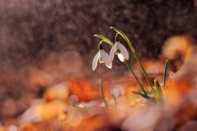 Snowdrops in a Beech Forest Wall Art & Canvas Prints by Marek Mierzejewski