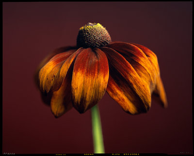 Rudbeckia Fusion Wall Art & Canvas Prints by Giampaulo Rico