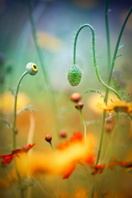 Poppy Field Fine Art Print by Stephen Moore