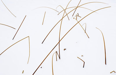 Reeds in Snow botanical print by David Ballantyne