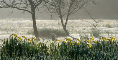 Narcissus in the Fog botanical print by Carol Casselden