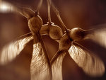 Sycamore seeds Fine Art Print by Carol Sharp