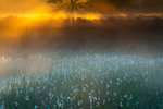 Cotton Moods: Common cottongrass at misty sunrise