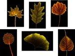 Leaf Portraits botanical print by Dennis Frates