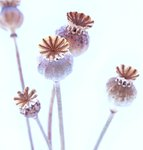 Poppy Seed Heads botanical print by Erwin Scheriau