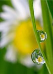 Daisies on Dewdrops botanical print by Dennis Frates