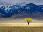 Lone Fall Tree botanical print by Dennis Frates