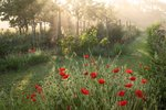Poppies at Dawn botanical print by Caroline Hyman