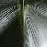 Palm botanical print by Henrique Souto